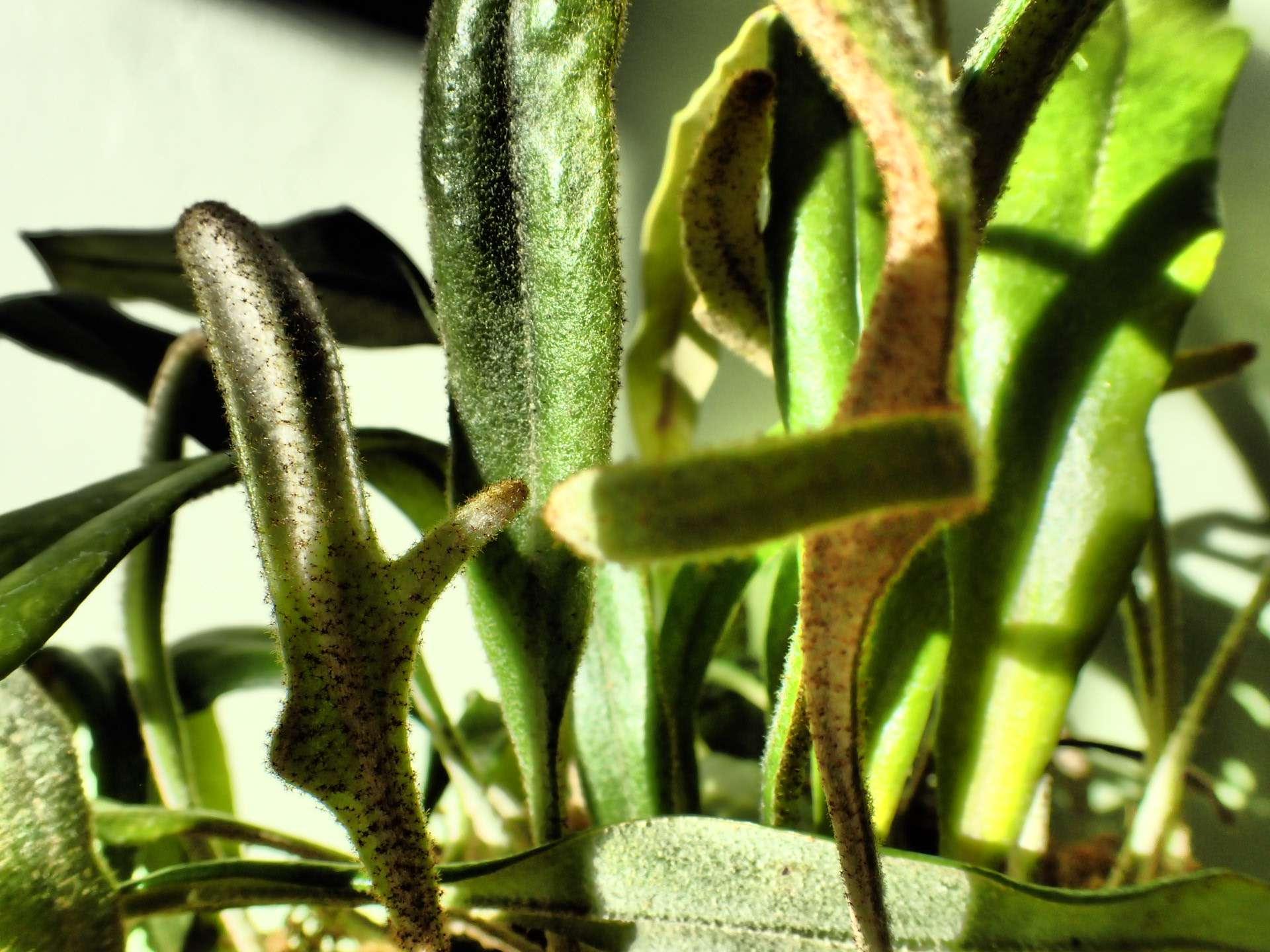 Pyrrosia albicans