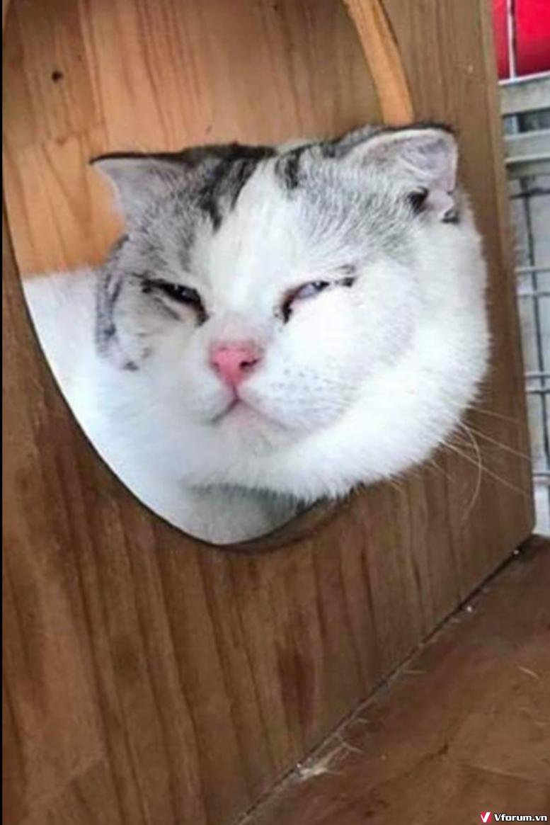 Nhận đặt gạch đàn mèo Scottish tai cụp, silver tappy, bicolor - 6