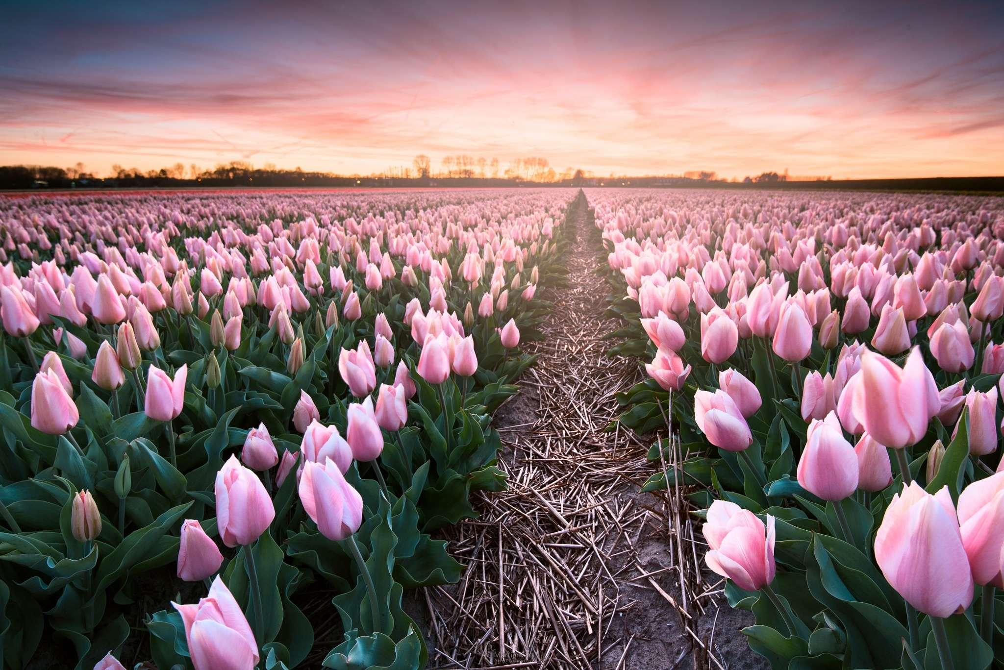 Hình nền hoa tulip đẹp