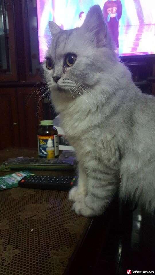 Nhận đặt gạch đàn mèo Scottish tai cụp, silver tappy, bicolor - 5