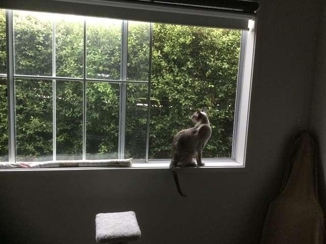 silver cat on a windowsill