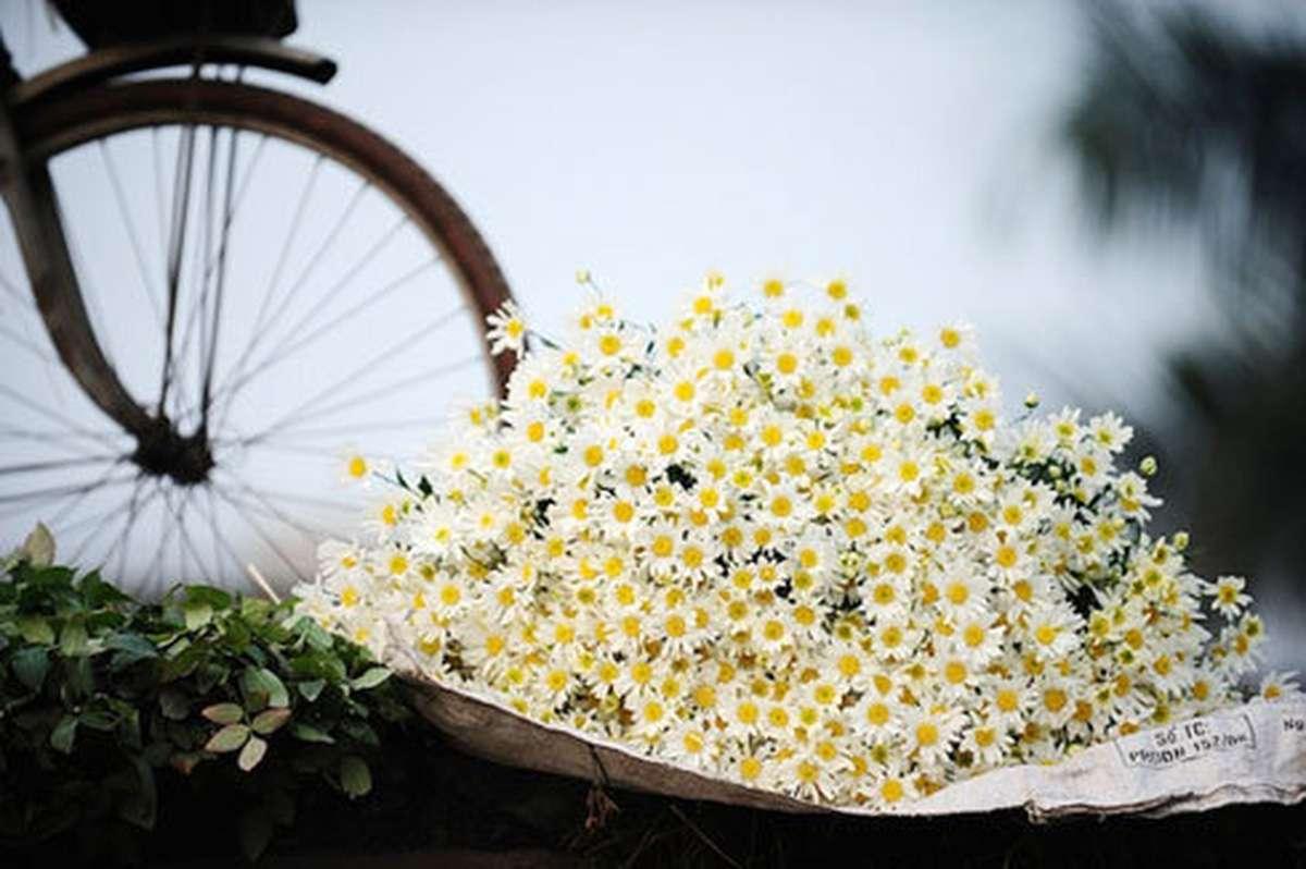 Hướng dẫn cách chữa nám da bằng hoa cúc đơn giản