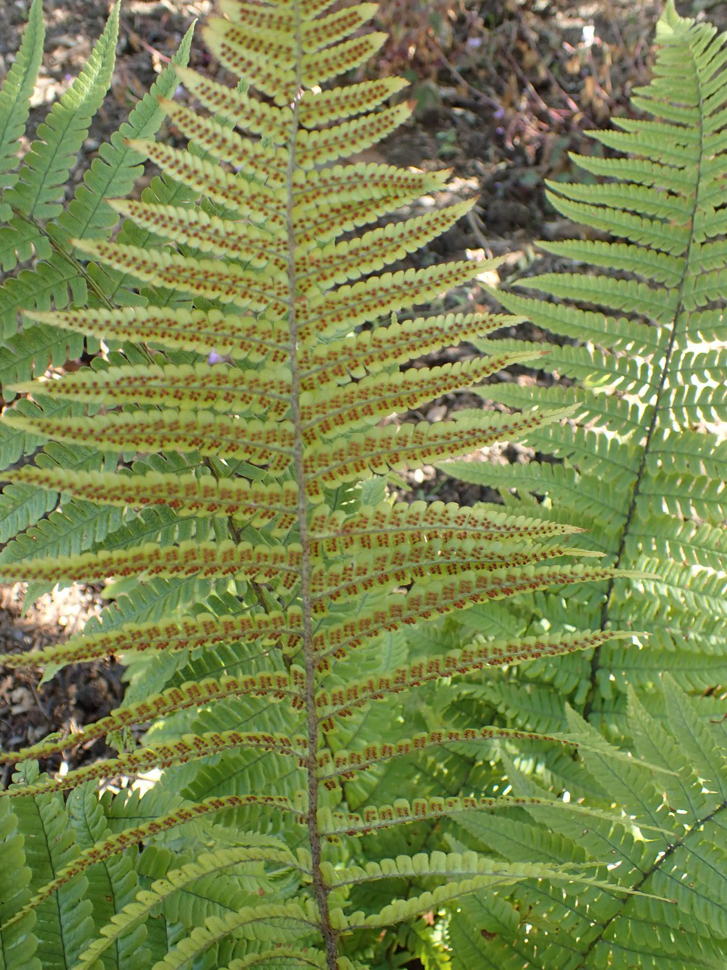 Dryopteris munchii