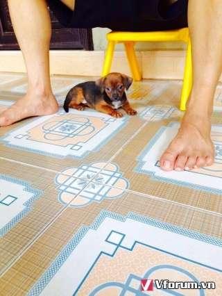 HUE_PET_CLUB: Chuyên bán các loại chó cảnh - Tư Vấn - Chữa bệnh.