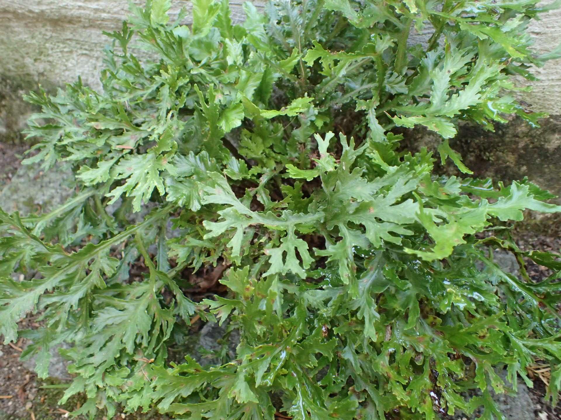 Asplenium scolopendrium 'ramo-marginatum'