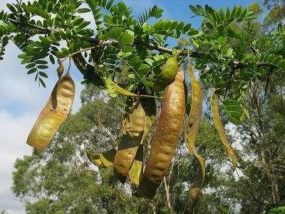 Thực hư cách chữa trị trĩ bằng trái bồ kết