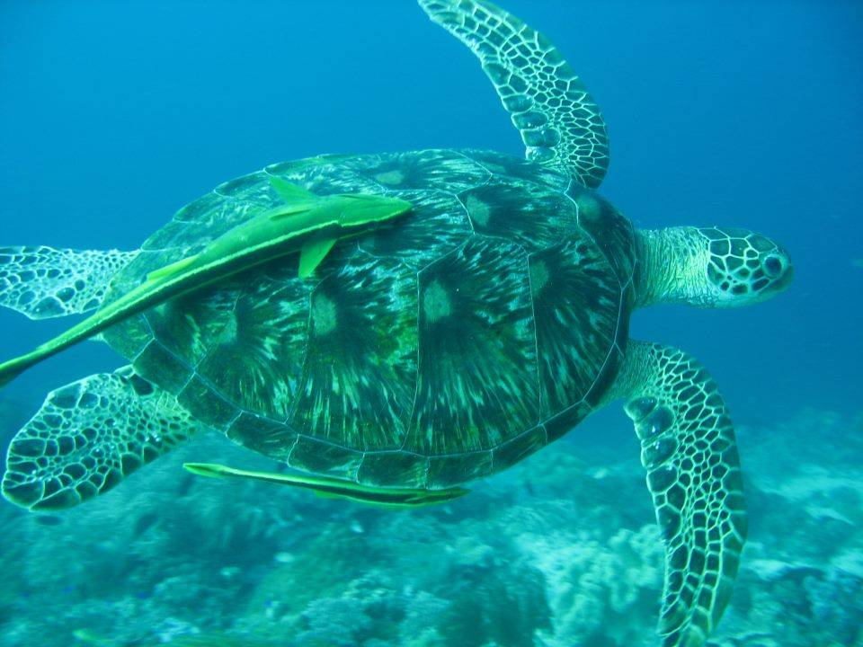 Une Tortue en snorkeling à Koh Tao en Thaïlande