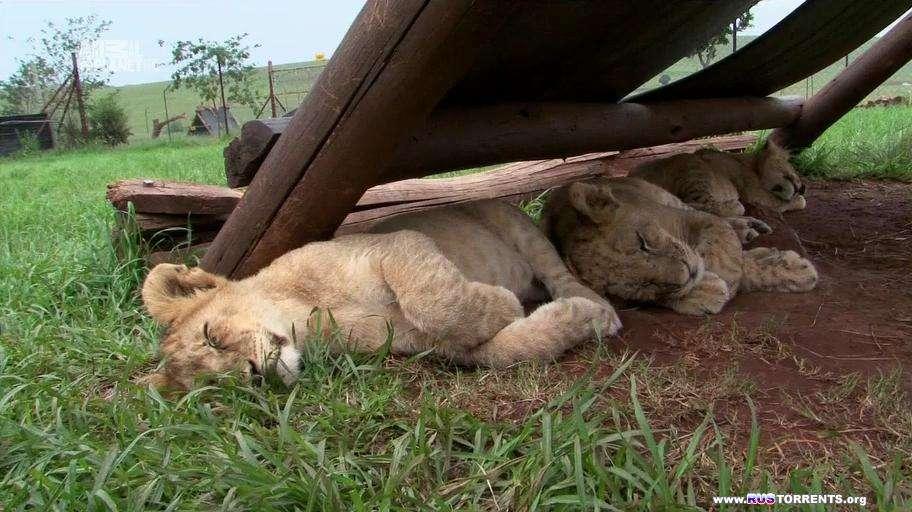 Человек и львы - история одного сафари [01-10 из 10] | HDTVRip-AVC