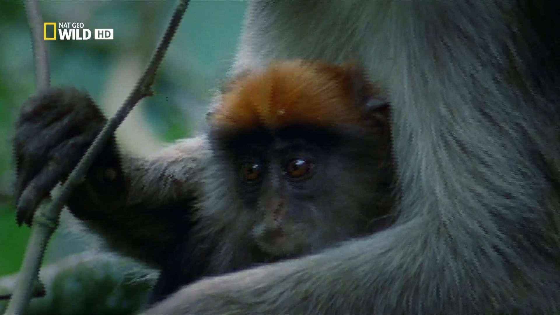 Королевство обезьян: Брат на брата | HDTV 1080i