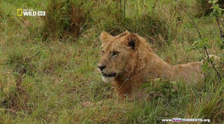 Nat Geo Wild: Игры львов | HDTVRip