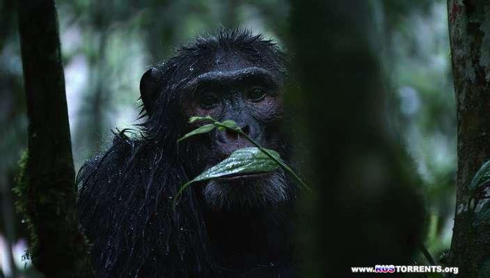 Шимпанзе   BDRip