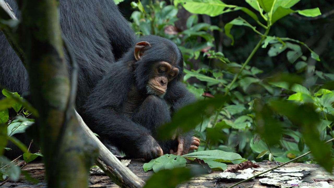 Шимпанзе | BDRip 720p