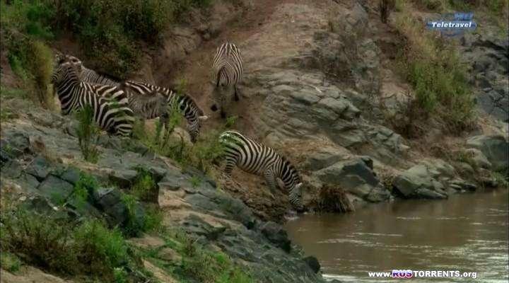 Великий поход зебр | HDTVRip