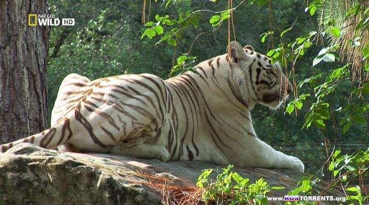 Nat Geo Wild: Атака больших кошек | HDTVRip
