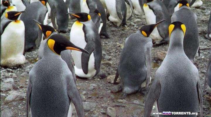 Король пингвинов | HDRip