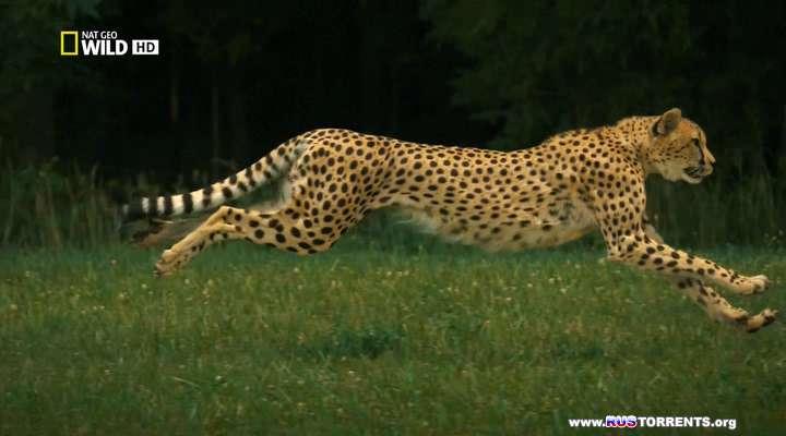 Nat Geo Wild: Человек против гепарда | HDTVRip