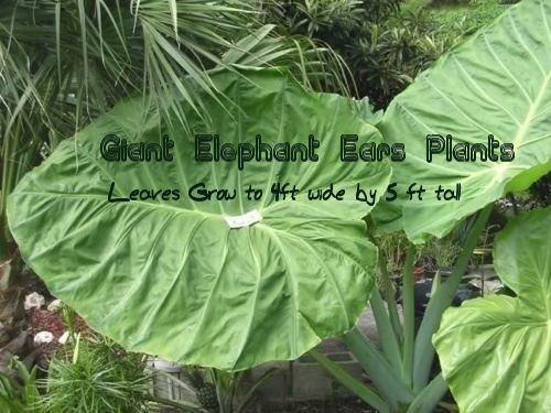 giant elephant ears plants click here