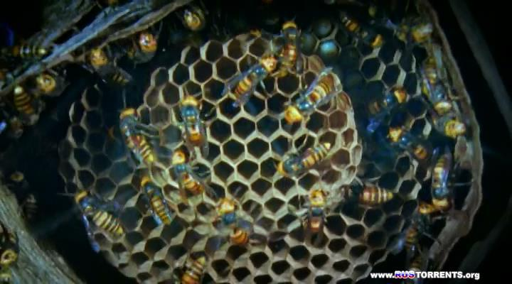 Живой мир. Будда, пчелы и королева гигантских шершней | DVDRip