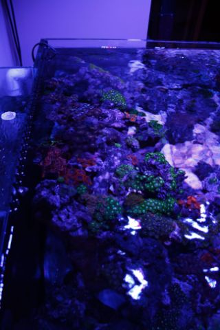 Zoaelite zoa paly species tank canreef aquatics for Snap on fish tank