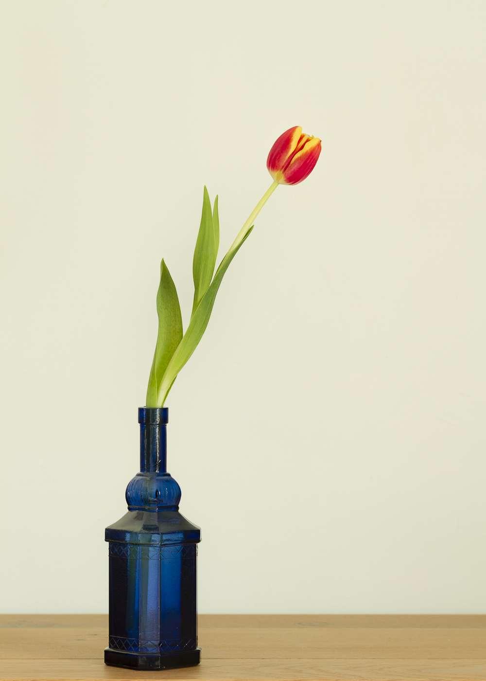 Une dernière tulipe K5ov