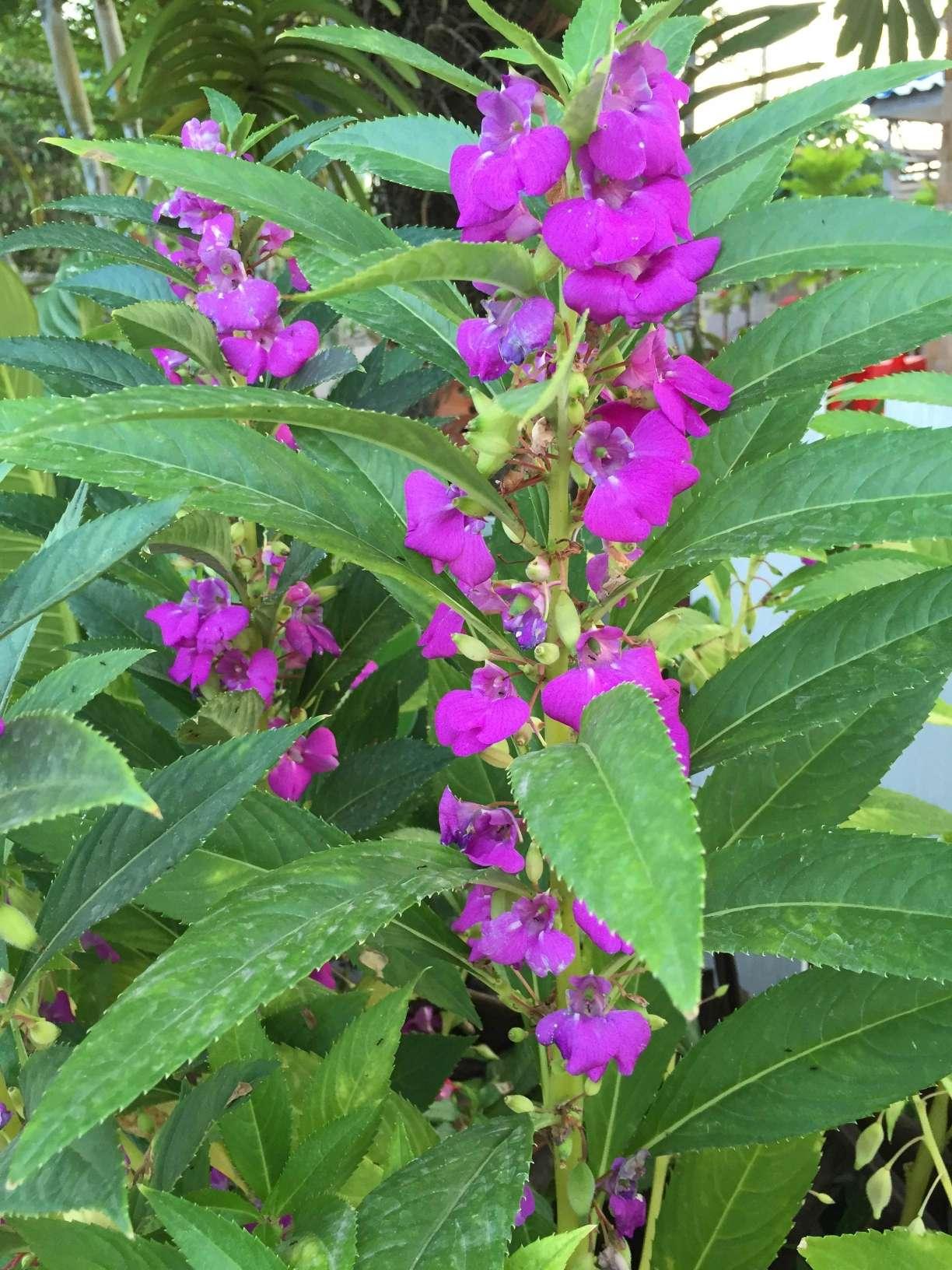25 Seeds Fresh Thai Balsam Impatiens Balsamina Impatiens Purple