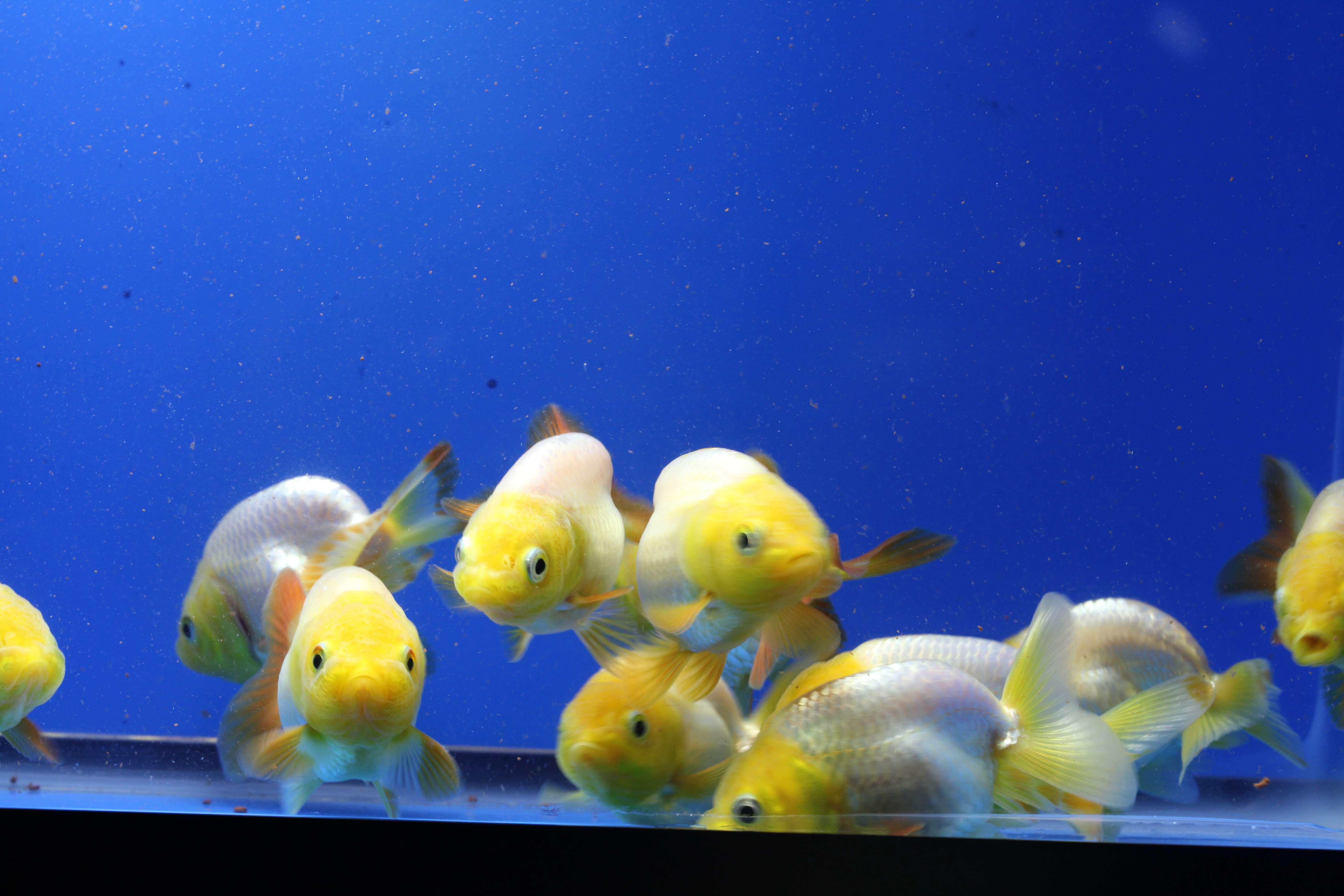 Live Lemonhead Ranchu Goldfish Bred In The Usa Side View