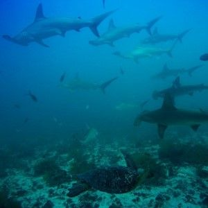 Diving with Hammerheads in the Galapagos