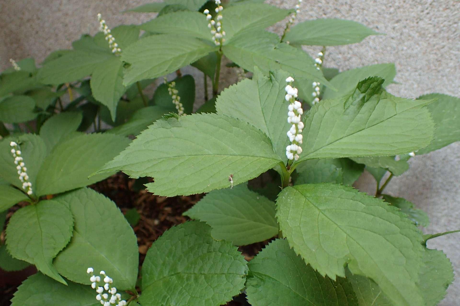 Chloranthus serratus
