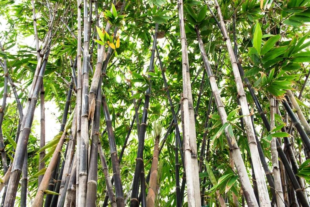 Schwarzrohrbambus Schwarzer bambus Phyllostachys nigra