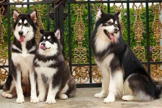 Chó alaska có nguồn gốc từ đâu