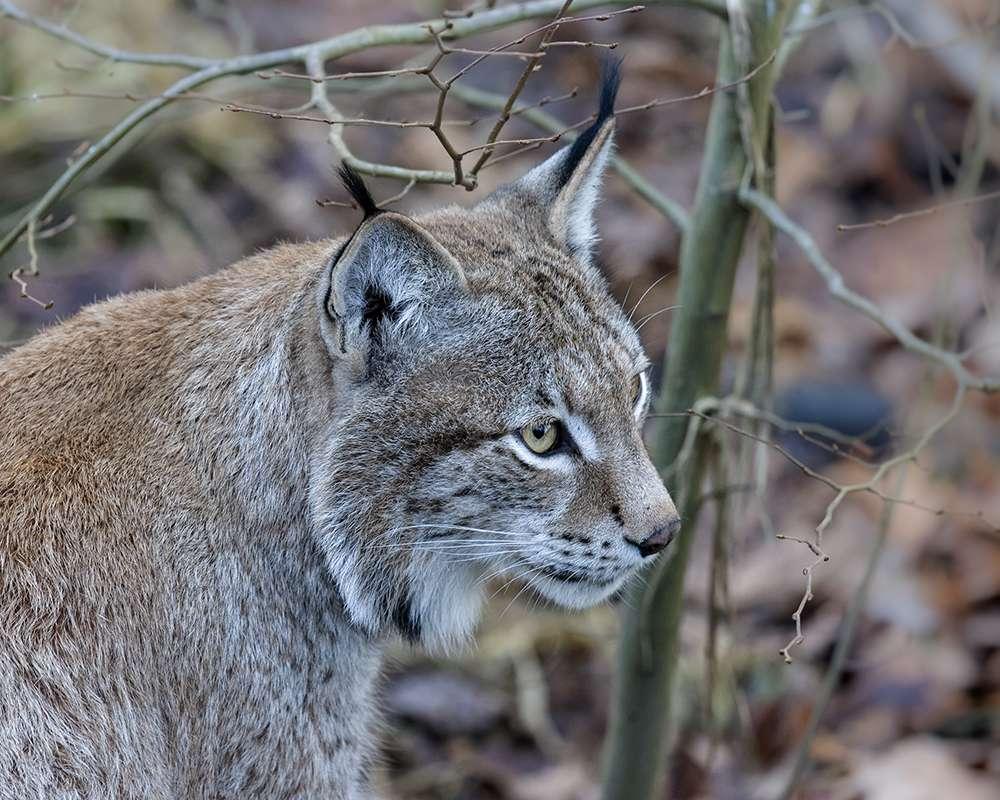 Oeil de lynx et autres photos  de St Croix EzZvDn