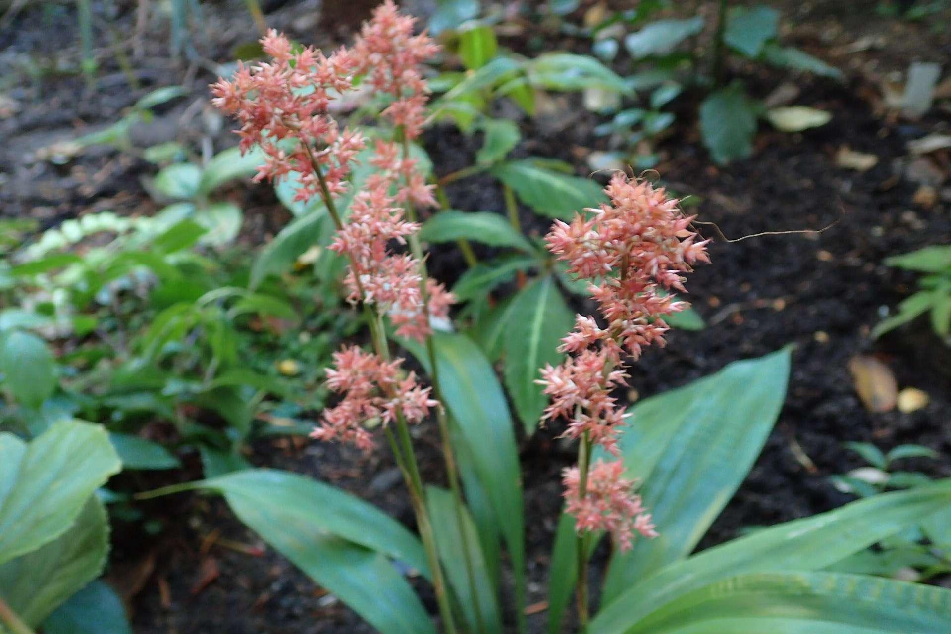 Carex scaposa