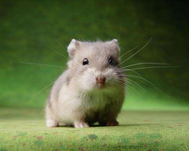 Chuột hamster có những màu nào