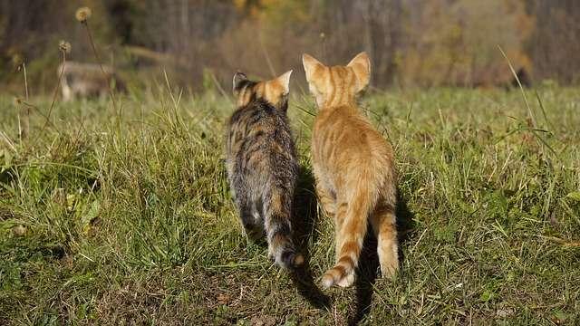 Deux chats devant un champ