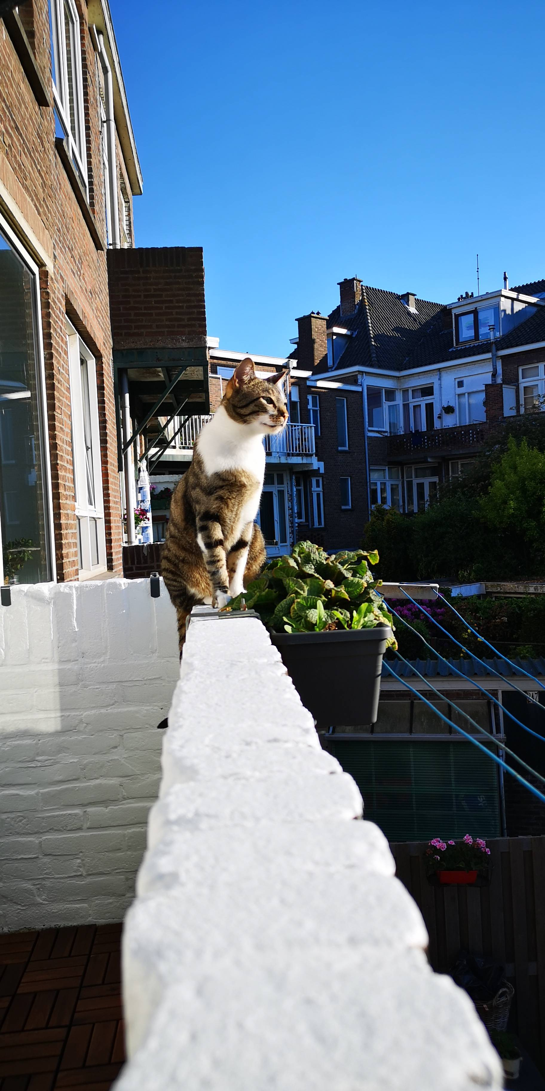Mika the cat who got lost in the Netherlands