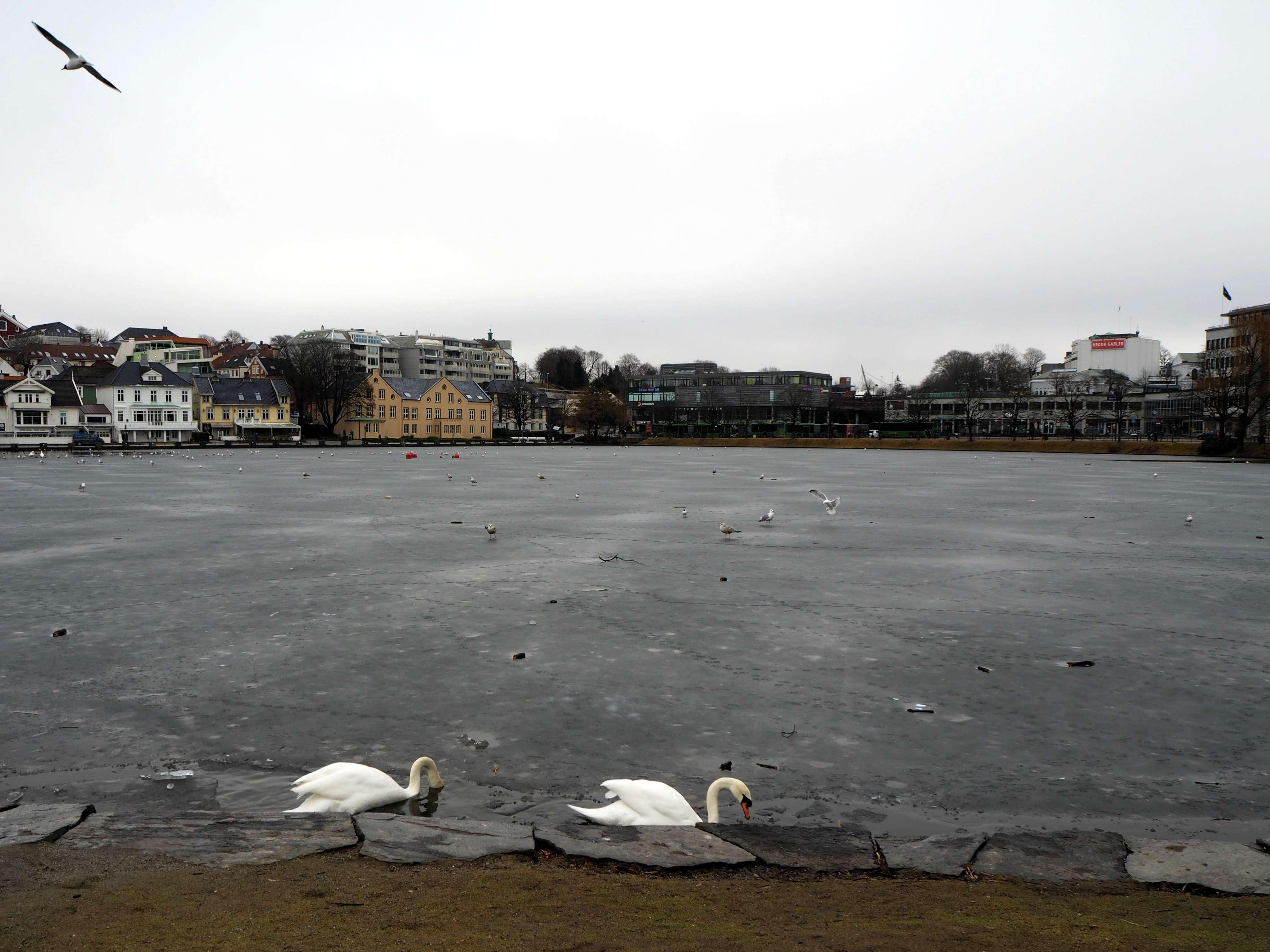 Swans in Stavanger city centre