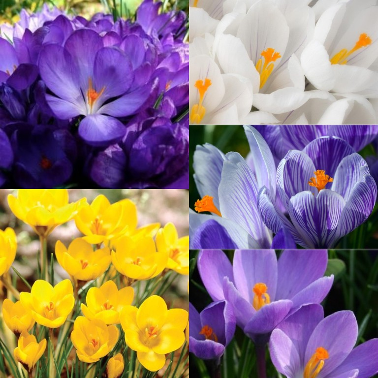 8c6d4563a622a CROCUS BULBS IN THE GREEN LARGE FLOWERING