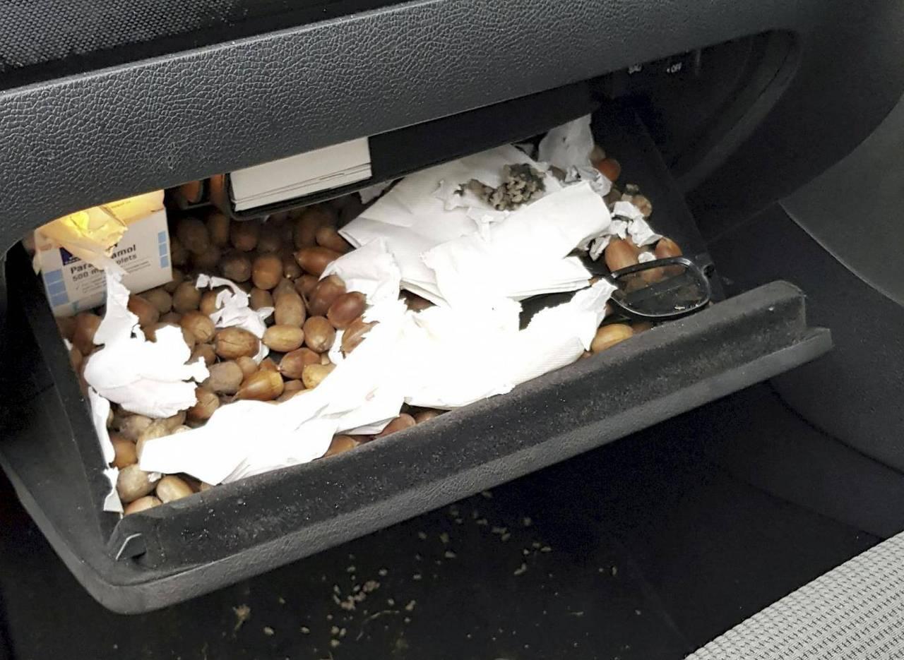 Volkswagen Golf Full Of Nuts Squirrel