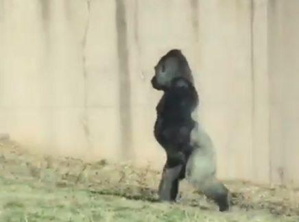 Gorila camina como humano