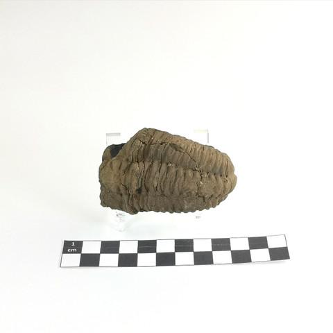 Trilobite Diacalymene ouzregui Maroc