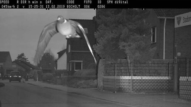 Pigeon Speed Camera Photo Car Radar Pombo